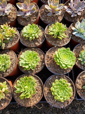 Succulent for Sale in Ontario, CA