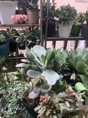 Succulent for Sale in Monterey, CA