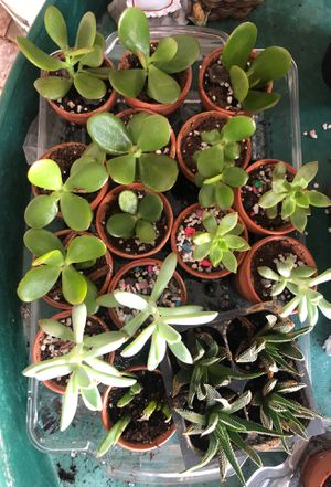 Succulents cactus for Sale in Tampa, FL