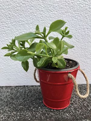 """Succulent Red Apple Ice Plant Aptenia in/outdoor in 3.5""""H plastic/metal pot. Will bloom soon. for Sale in Everett, WA"""
