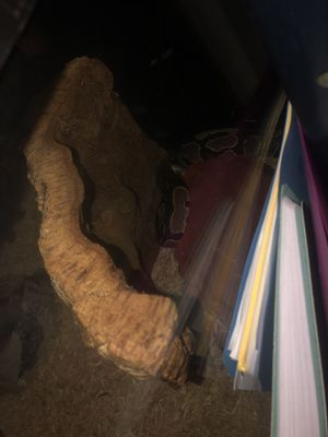 Snake with everything in pictures for Sale in Victoria, TX