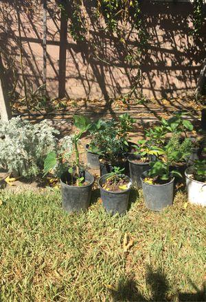 Plant as medicinales . chaya, romero, ruda, achitaba, chipilin, maracuya for Sale in La Puente, CA