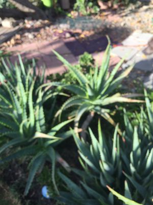 Beautiful Aloe Vera plants and succulent plants for Sale in Stockton, CA