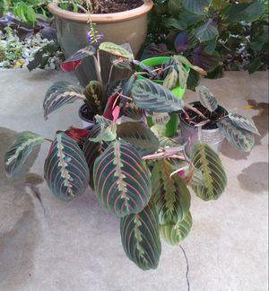 Prayer plants$9-$12 each pot for Sale in St. Louis, MO