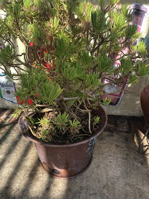 Large plant for Sale in Huntington Park, CA