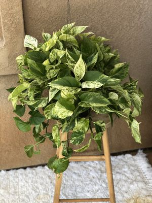 "8"" Marble Queen Pothos Hanging Plant for Sale in Bonita, CA"