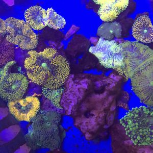 Rainbow Ricordea Mushrooms Saltwater Corals Frags and more fish tank decorations for Sale in Los Angeles, CA