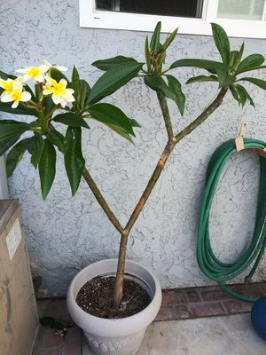 Plumeria plant for Sale in Irvine, CA