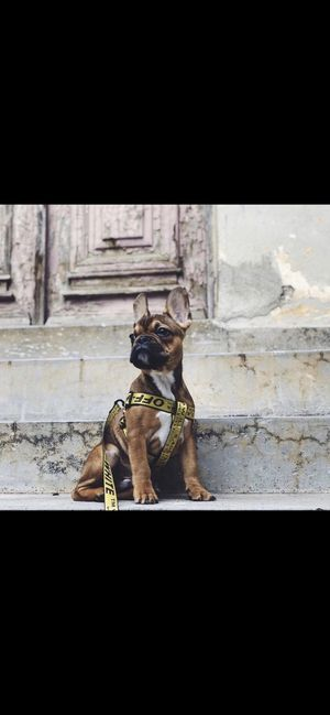 Off-White Dog Harness, Collar, & Leash for Sale in San Diego, CA