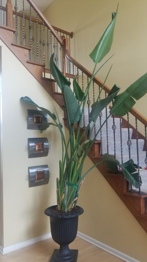 Tall house plant for Sale in Hinckley, OH