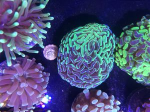 Live corals!! Hammers frog spawns torches zoas chalice mushrooms lps sps for Sale in Orlando, FL