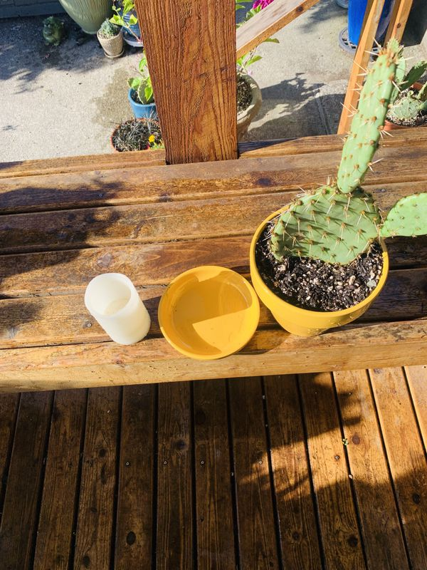 Live outdoor Prickly Pear cactus house plant in a ceramic planter flower pot with base included—firm price