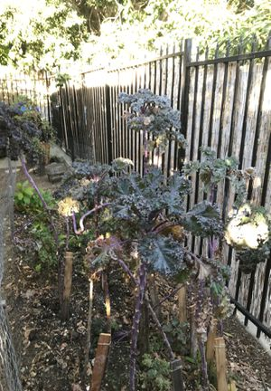 Free Kale, going to be replanting kale etc. will be pulling this kale out still good for juices soups etc for Sale in Los Angeles, CA
