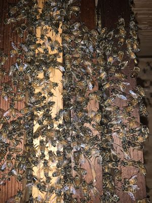 Free Bee swarm removal. for Sale in Vero Beach, FL