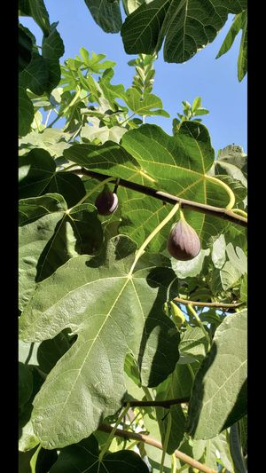 5 fresh figs for a $1 for Sale in Placentia, CA