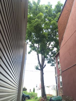Black walnut tree for Sale in Camp Hill, PA