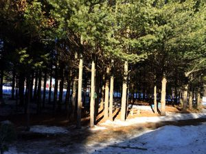 Two acres of free birch and pine trees for Sale in Cadott, WI