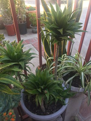 Dracaenas houseplant palm tree style indoor outdoor plants for Sale in Fountain Valley, CA