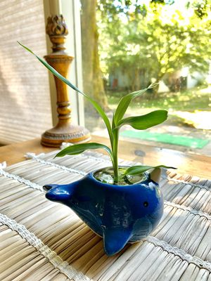 Narwhale 🐳 Bamboo Indoor Plant 🌱 for Sale in West Linn, OR