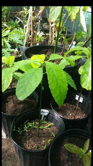 Avocado plants 60cm_120cm for sale! for Sale in Richmond, CA