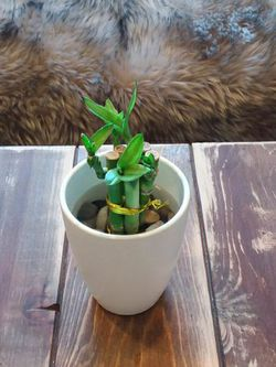 Bamboo In A Matte White Ceramic Pot With Rocks Inside for Sale in Long Beach,  CA