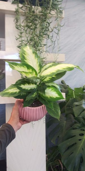 Indoor plant in pot for Sale in San Marcos, CA