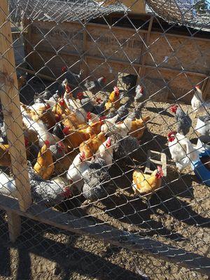 Pollos organicos de rancho bien rancheros for Sale in Highland, CA