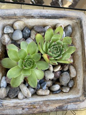 Succulents in pot with little pebbles super cute for Sale in Hillsboro, OR