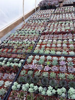 "2"" pots with succulent plants $1 each for Sale in La Mirada, CA"
