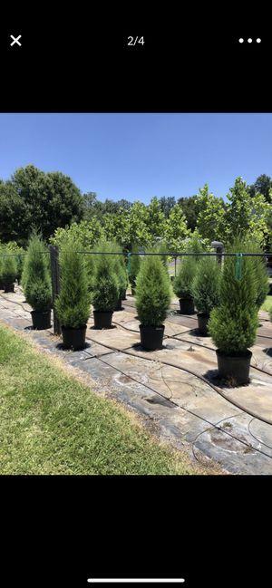 Cedar Trees for Sale in Clearwater, FL