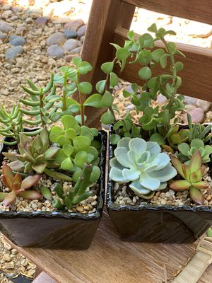 Real/live beautiful succulent plants in a pot for Sale in Las Vegas, NV
