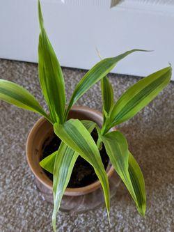 Indoor Bamboo Plants for Sale in Wilmington,  DE
