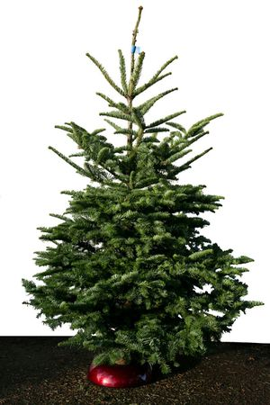 Noble Fir X-Mas trees 6-8ft tall for Sale in Seattle, WA