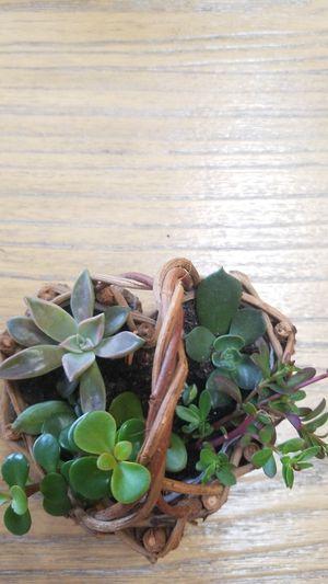 Succulent for Sale in Dunedin, FL