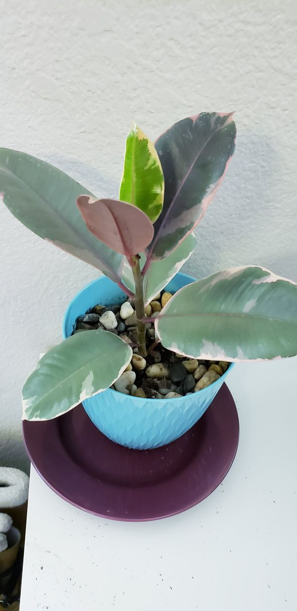 Live ruby variegated rubber plant in 6 inch diameter pot