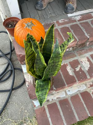 Fake snake plant with pot for Sale in Vallejo, CA