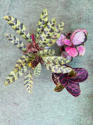 "Plants (4"" nursery pot🍃3 Calathea""rattle snake🌱rosy🌱dottie""🍃$20 for all 3) for Sale in San Diego, CA"