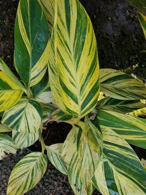 Variegated ginger plant for Sale in Orange, CA