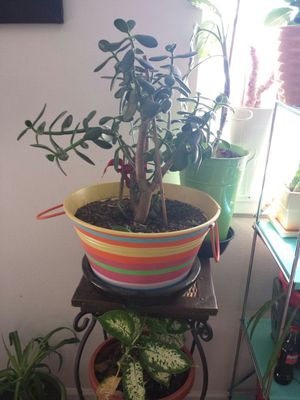 Big Jade Tree for Sale in Aurora, CO