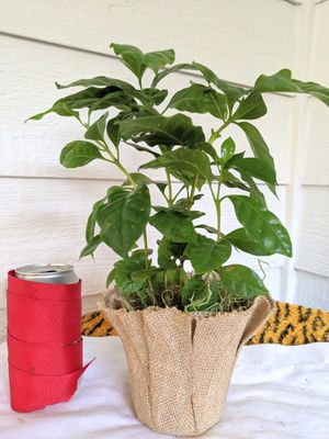 Coffee Plants in Fabric Wrapped Planter Pot- Real Indoor House Plant for Sale in Auburn, WA