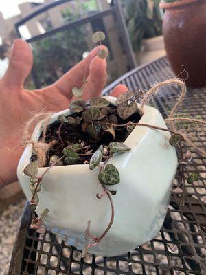 String of hearts in porcelain hanging pot for Sale in Riverside, CA