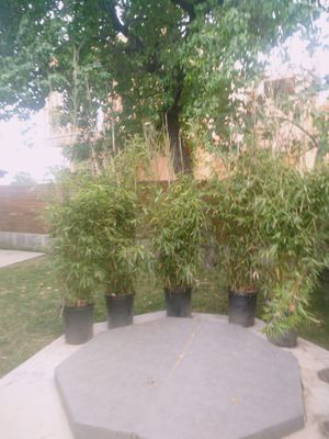 Bamboo plant 6-14 feet tall for Sale in Beverly Hills, CA