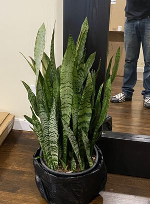 Snake plant for Sale in La Puente, CA