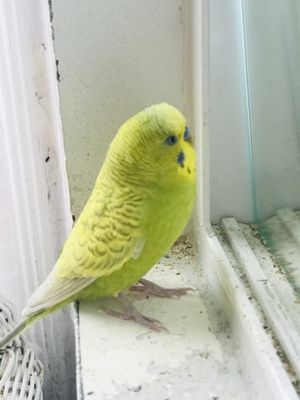 Parkeet with cage, food,& accessories for Sale in Hawthorne, CA