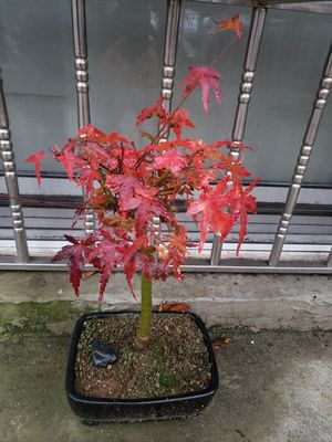 Japanese Maple Bonsai 10yrs old for Sale in Staten Island, NY