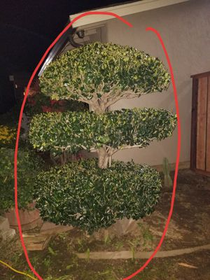 FREE Tree for Sale in Antioch, CA