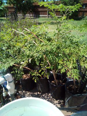 Moringa plant for Sale in Fresno, CA