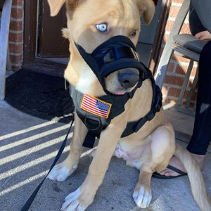 Dog Harness for Sale in Santa Ana, CA