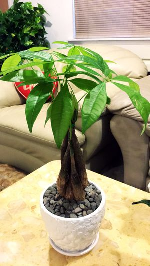 Beautiful Money Tree Plant for Sale in Garden Grove, CA