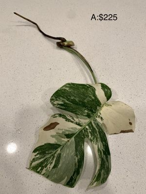 Monstera Albo cutting for Sale in Los Angeles, CA